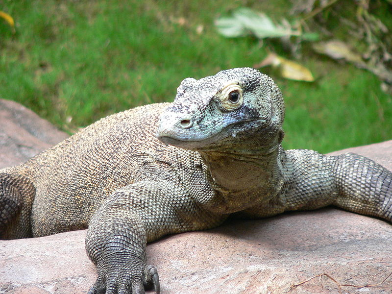 Photo by  Raul654   Female komodo dragons can reproduce asexually if no males are available.