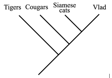 This phylogeny shows how my cat (Vlad) is related to other cats, large and small. Vlad is most closely related to Siamese cats, and most distantly related to tigers.