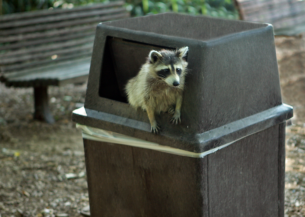 Photo by Steve  Most raccoons are nocturnal, but trash is so abundant that some populations of raccoons have shifted to feeding during the day. Could we be witnessing the birth of a new species of daytime raccoons?