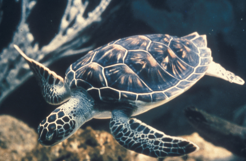 Sea turtles use the Earth's magnetic field to navigate. Geomagnetic reversals take place over the course of 1,000 -  10,000 years, giving sea turtles plenty of time to adapt to new magnetic fields.