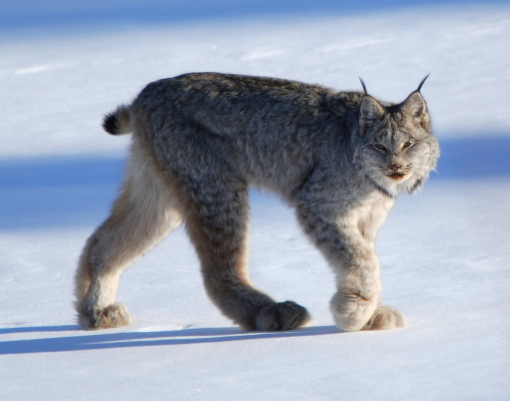 Courtesy of Keith Williams The large paws of a lynx help them maneuver in snow.