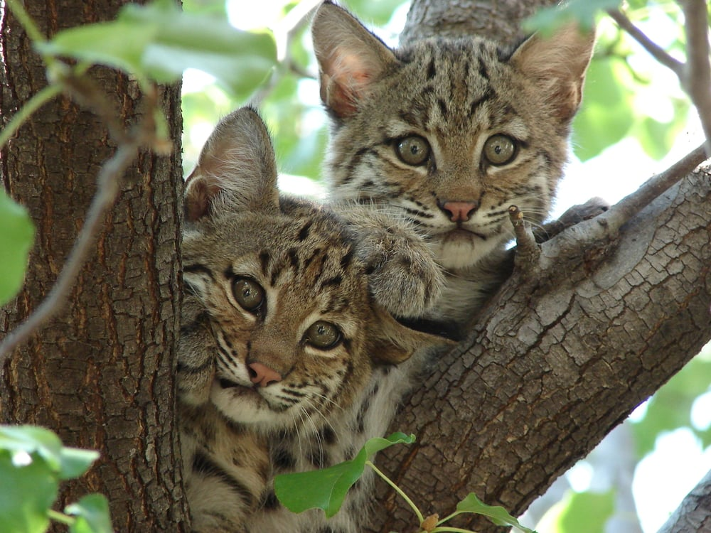Courtesy of Summer Tribble Bobcats give birth in April or May to litters of usually 2-4 kittens.