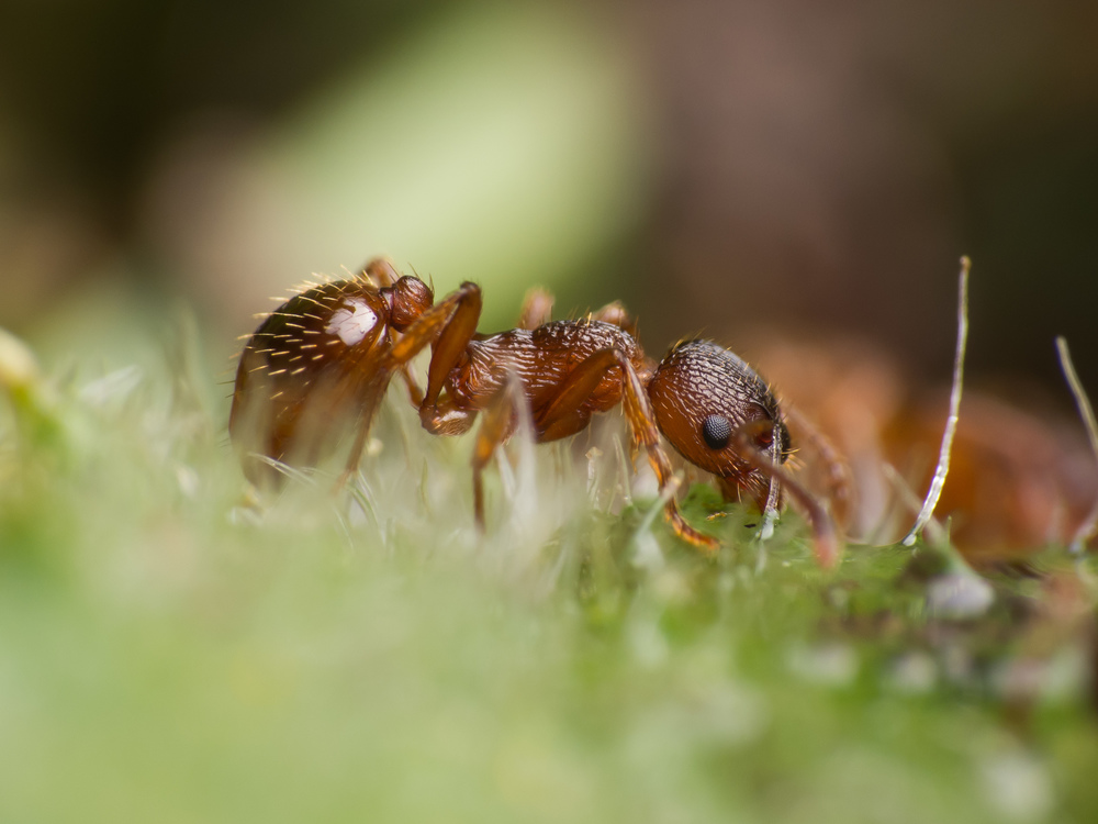 Courtesy of Andreas Weggel  Ants of the genus  Myrmica  were tested for self-awareness.