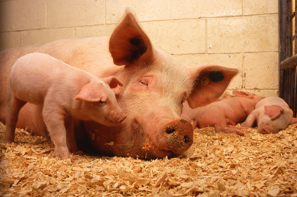 Pigs are as intellectually complex as dogs and apes on some measures.