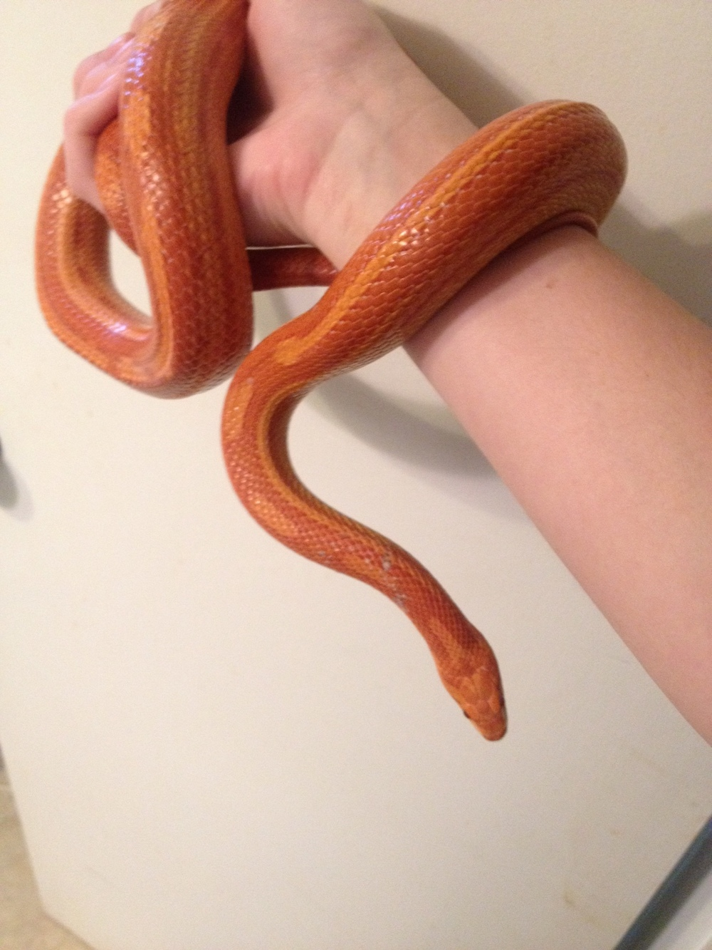 Corn snakes live mainly in the southeastern US but can be found as far north as New Jersey. They are one of the best snakes for families or beginner reptile keepers and come in a variety of colors, or morphs.