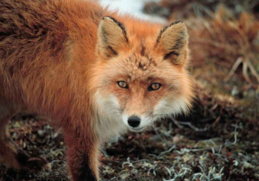 Wild red foxes tend to avoid humans.