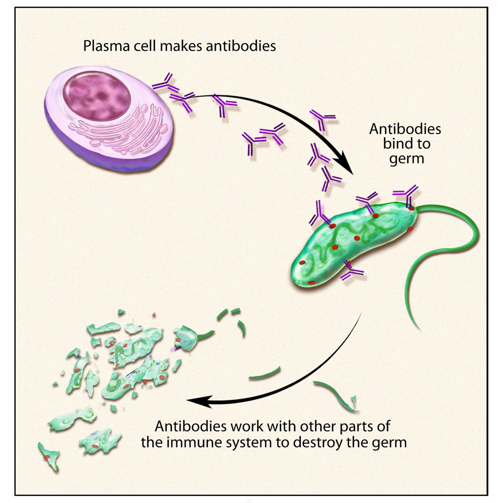B cells produce antibodies. Antibodies bind to viruses (and other germs) so that the rest of the immune system can destroy them.