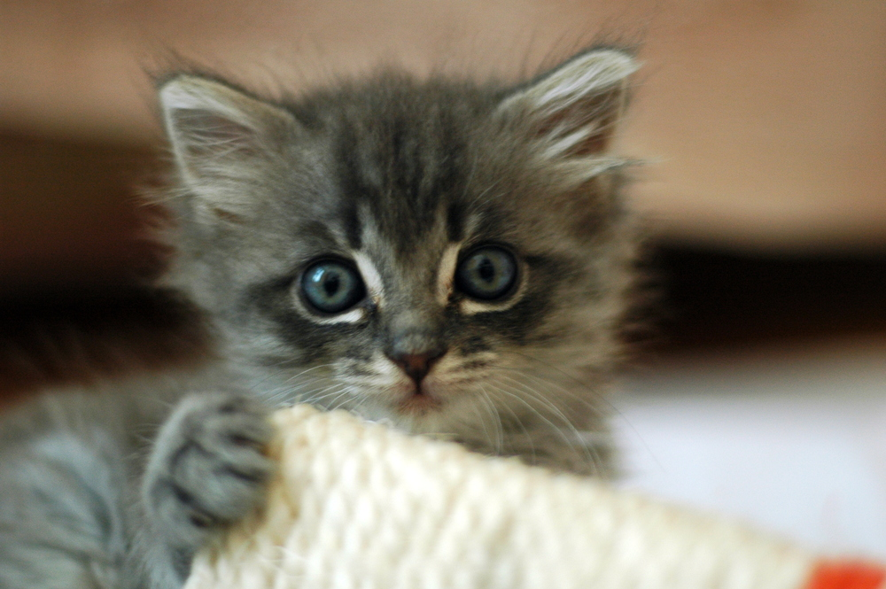 Courtesy of Nicolas Suzor Looking at this kitten will help you focus on reading this article.