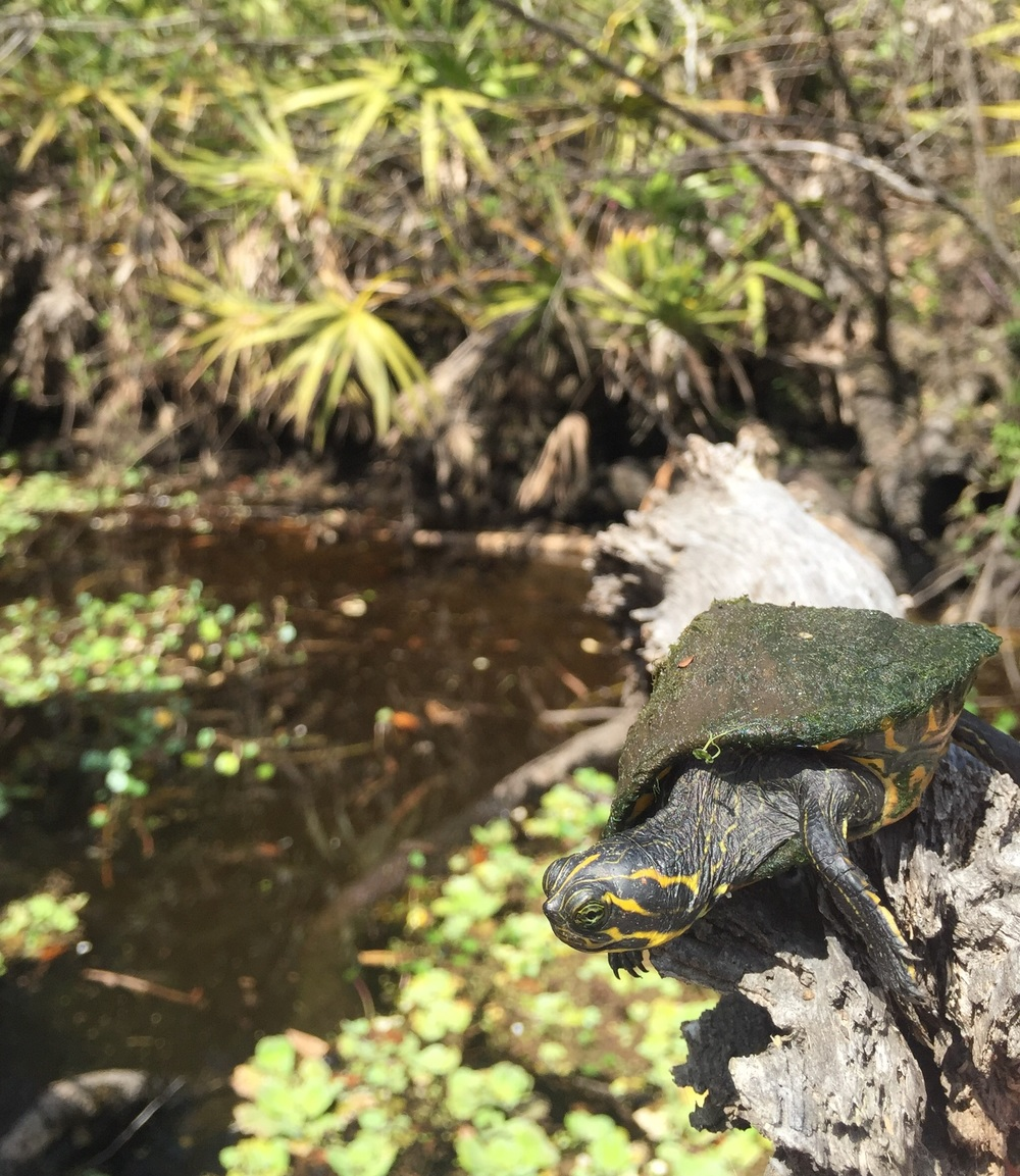 Yearling Suwannee cooter
