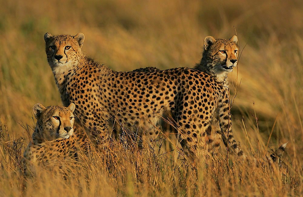 Courtesy of Steve Garvie Male cheetahs can form groups called coalitions.