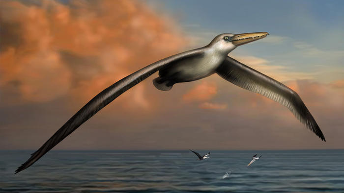 Reconstruction of World's Largest-Ever Flying Bird, Pelagornis sandersi, identified by Dr. Daniel Ksepka, Curator of Science at the Bruce Museum in Greenwich, CT. Reconstruction art by Liz Bradford.
