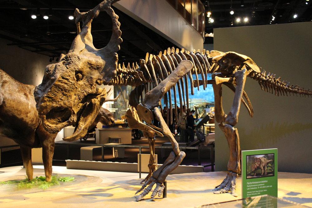 Perot_Museum_Pachyrhinosaurus.jpg