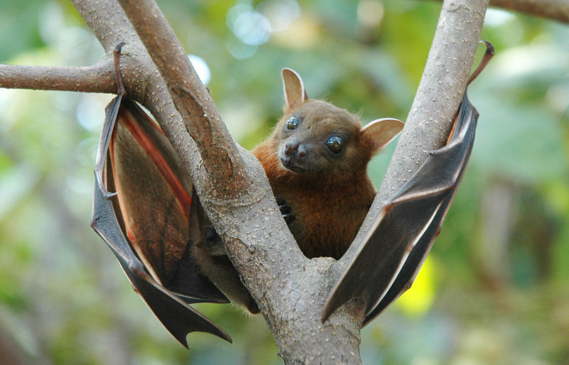 The largest bat species eat fruit. Photo by Anton Croos.