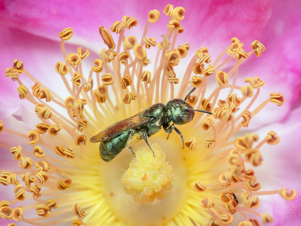 Small Carpenter Bee on Wild Rose – Paula Sharp – Copyright Sharp-Eatman Nature Photography