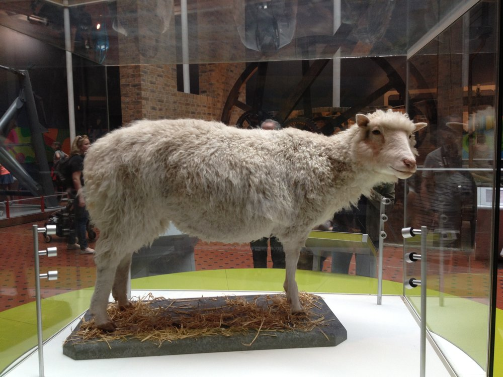 Dolly the sheep, taxidermied and in a museum. Image by neverbutterfly