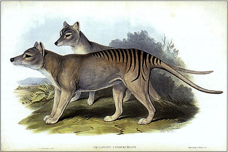 Extinct Thylacines.
