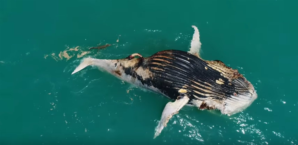 - SHARKS AND CROCODILES FEAST ON A WHALE CARCASS