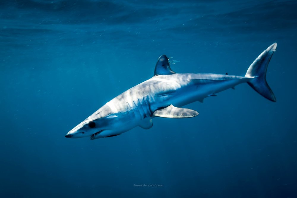 MAKO, BLUE SHARKS & GRAY WHALES - FEBRUARY 18 - 24, 2019