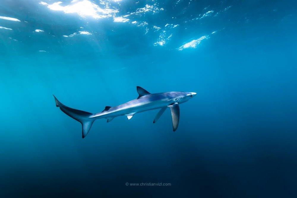 MAKO SHARK 02.jpg