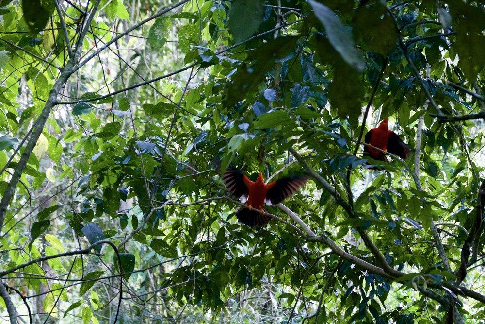 JardinColombiaGallitos.jpg