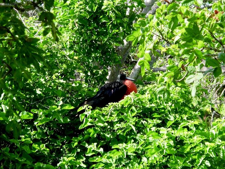 Frigate Bird Galapagos
