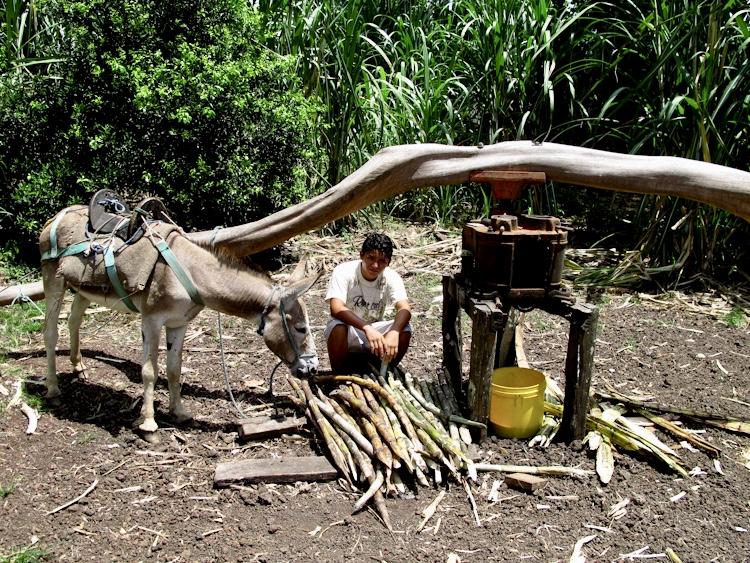 Sugar cane Galapagos
