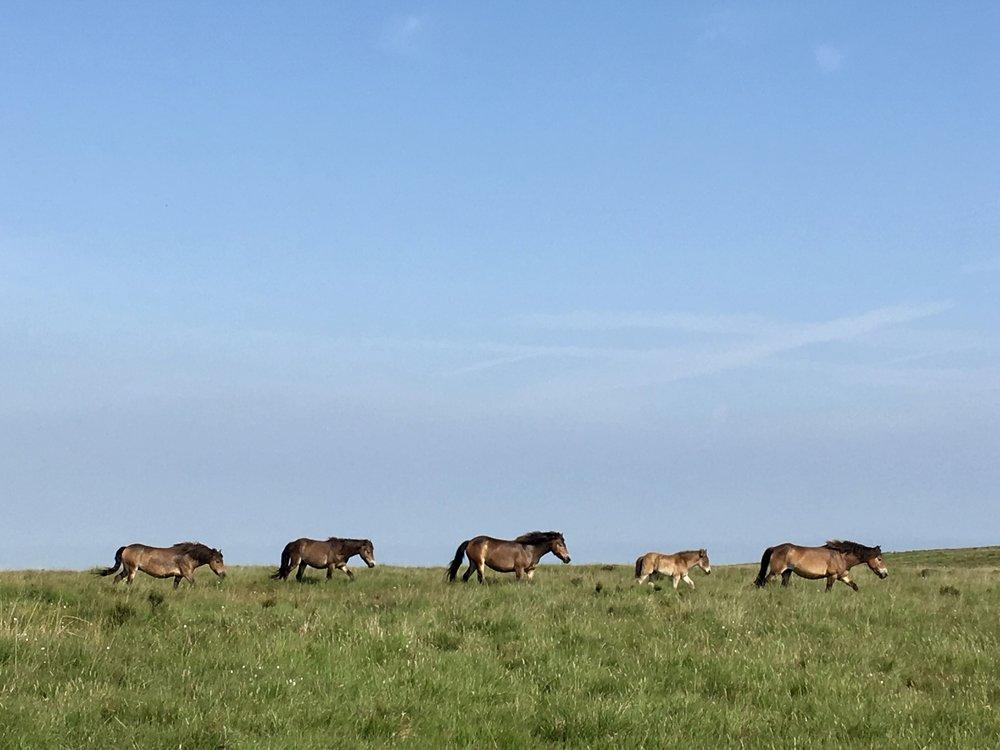 Wild ponies, Exmoor National Park England