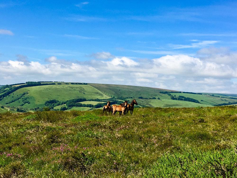 Wild Ponies Exmoor National Park, England