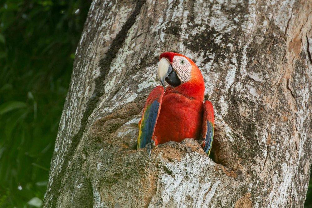 Scarlett Macaw Costa Rica