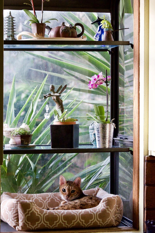 Catalina Island Housesit Bengal Cat