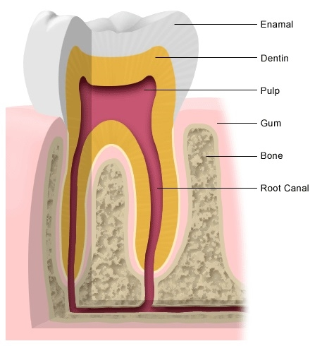 tooth_anatomy