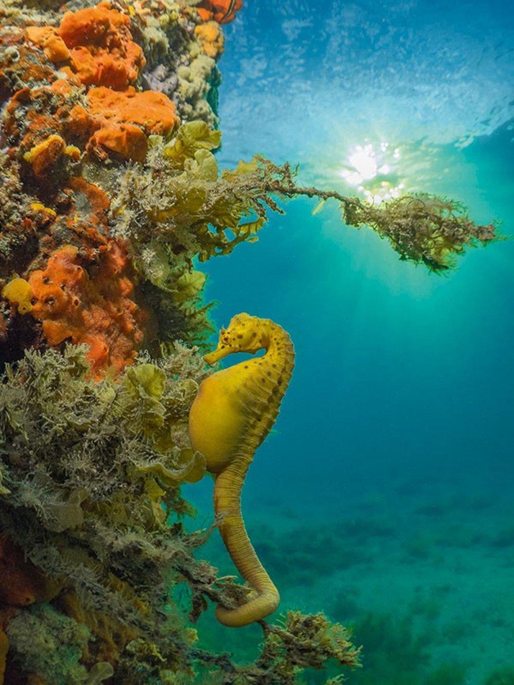 racv big belly seahorse.jpg