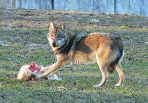 wolf-in-zoo.jpg
