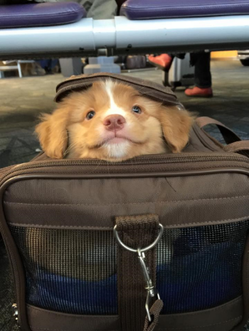 Oakley, aka Daintree's Hello Kitty waiting for her flight home to Saksatchewan. Photo taken by her owners.