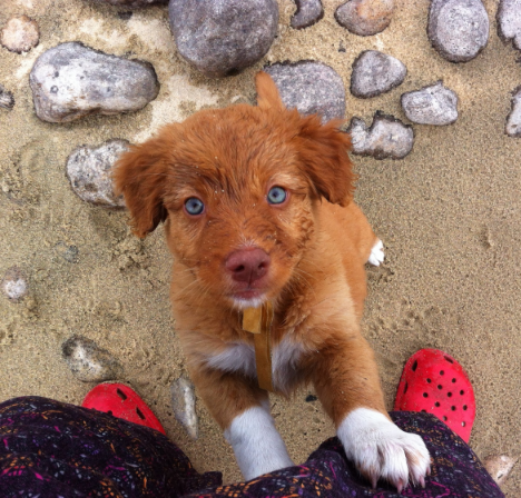 Sage (formerly Haida, the Canada Litter) on the beach in Nakusp.