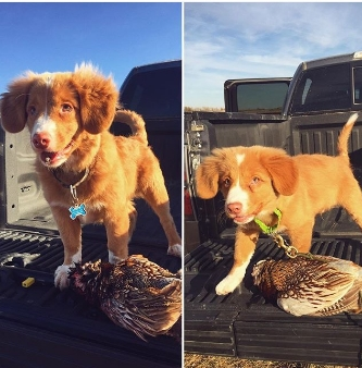 JC, aka Daintree's Jacques Cousteau at 3 months and 5 months after tracking in the field. Photo courtesy of owner.