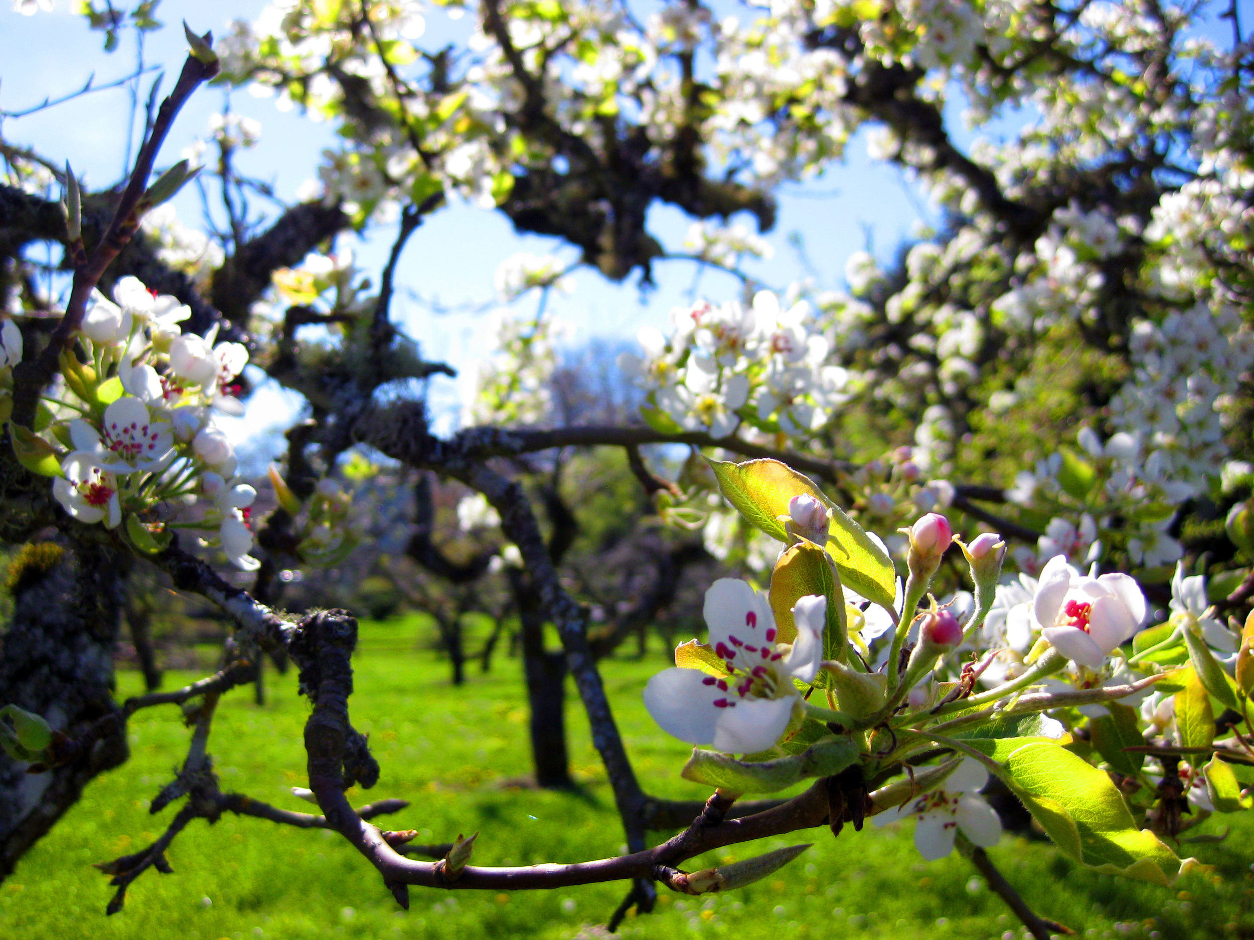 spring-orchard-2
