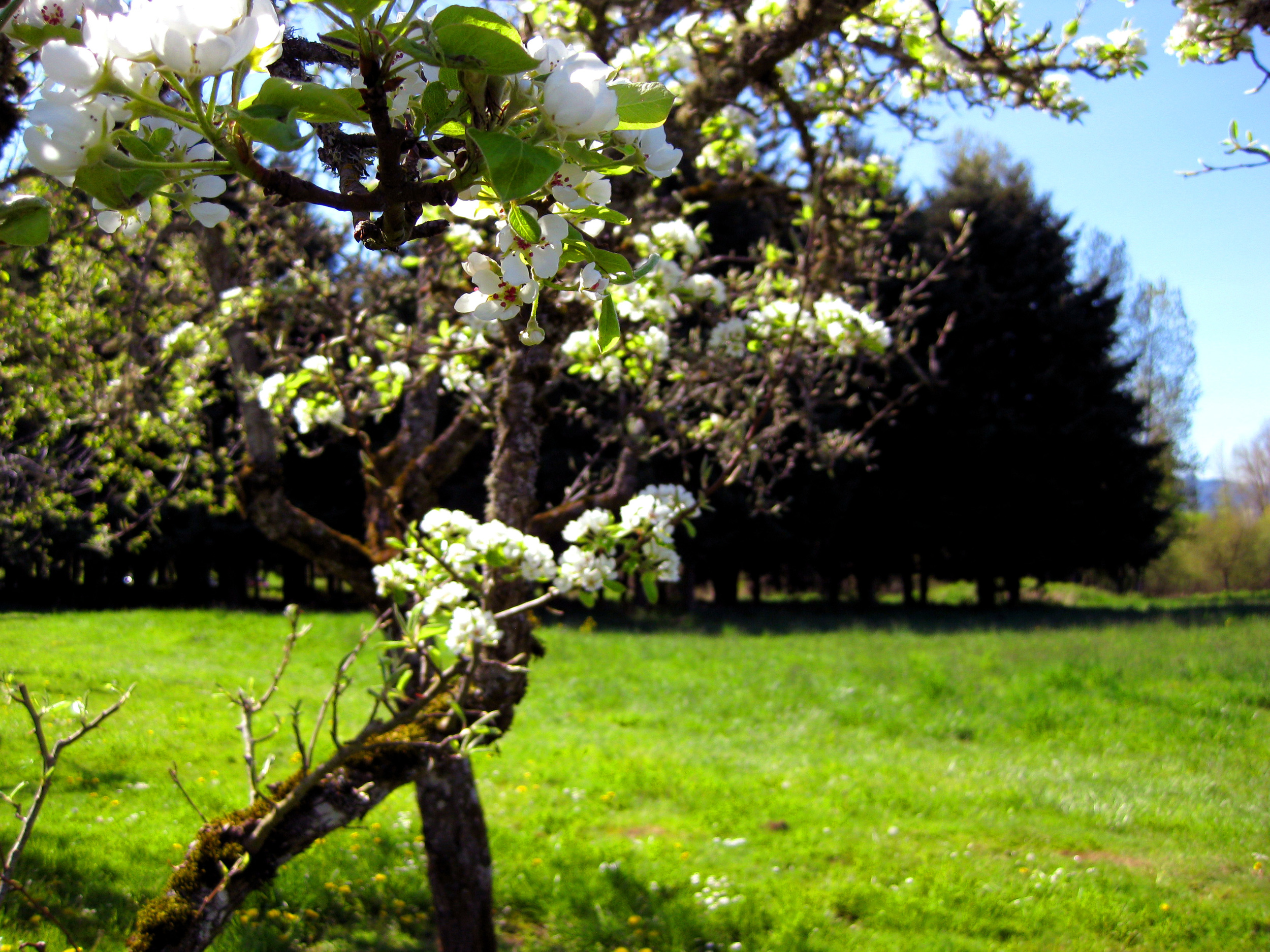 spring-orchard1