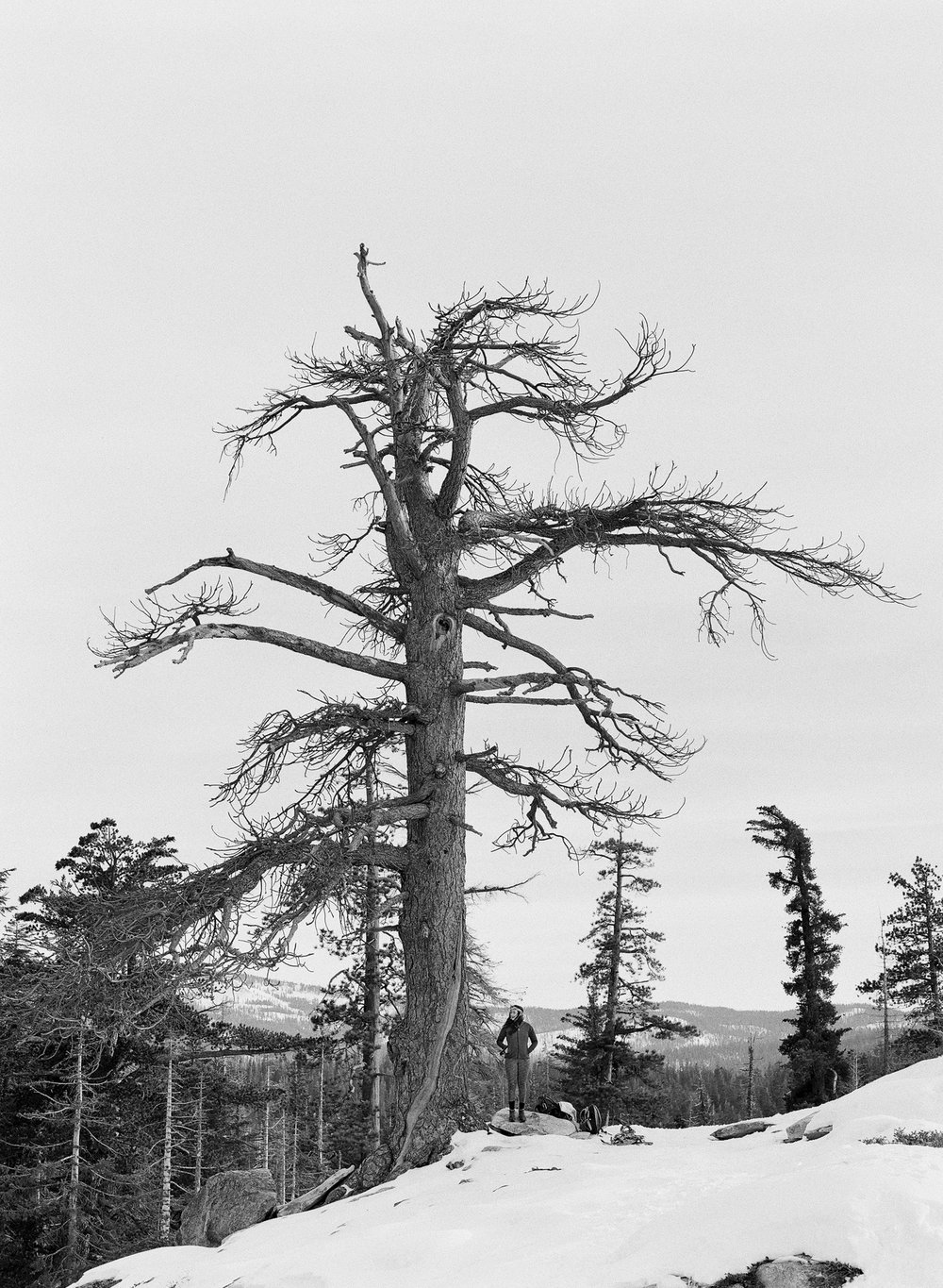 Dewey Point Tree Portrait, Yosemite Valley