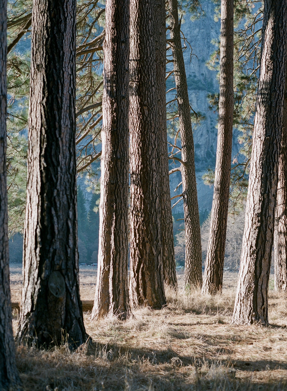 Trees At Cook's Meadow, Yosemite Valley