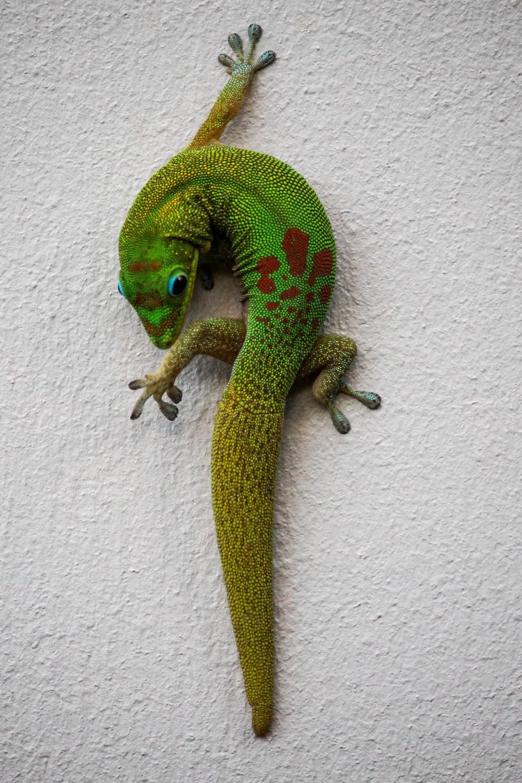 A lizard on the wall on the Island of Hawaii
