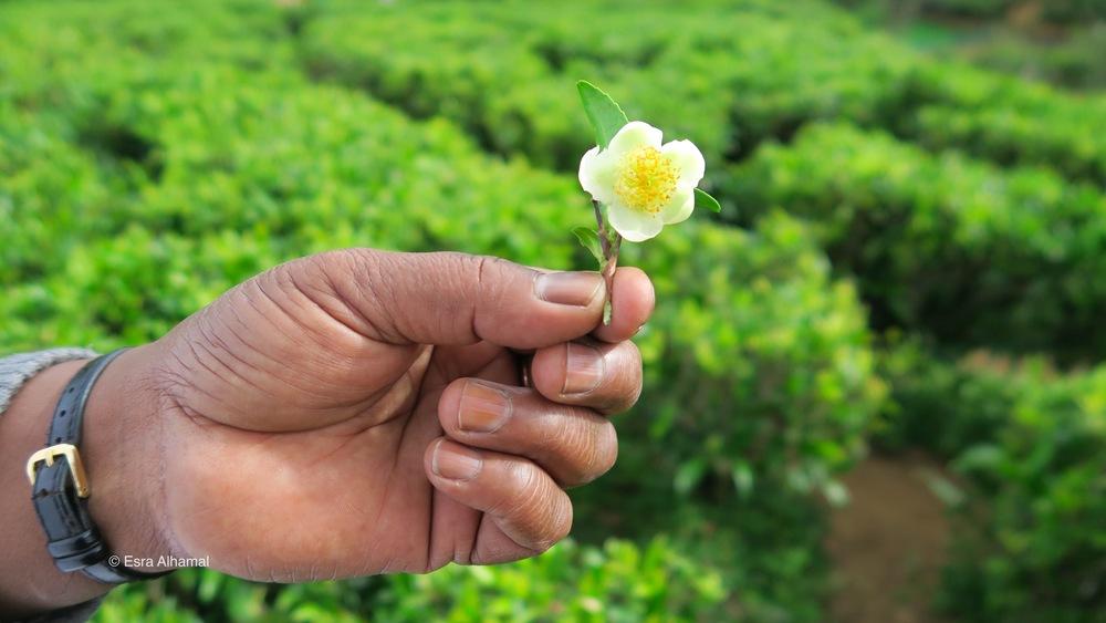 Tea flower. The tea plucking experience at the gorgeous Heritance Tea Factory