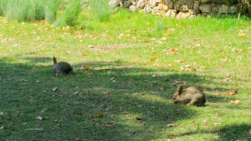 Wild Rabbits hopping around