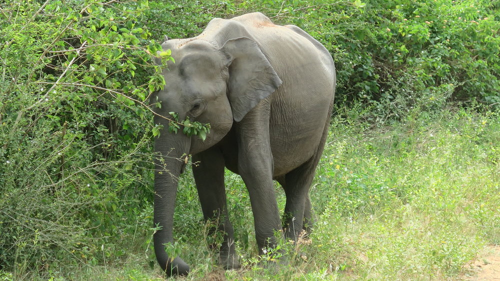 محمية حيوانات وفيلة في سريلانكا