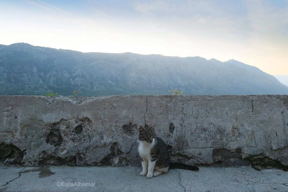 Cats of Kotor, Montenegro