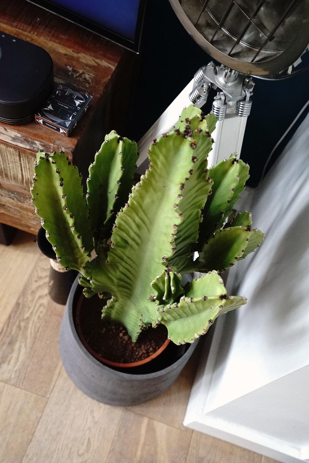 Cactus Indoor Plant P.jpg