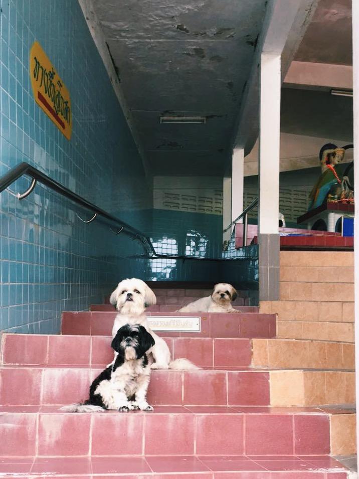 thailand pups.JPG