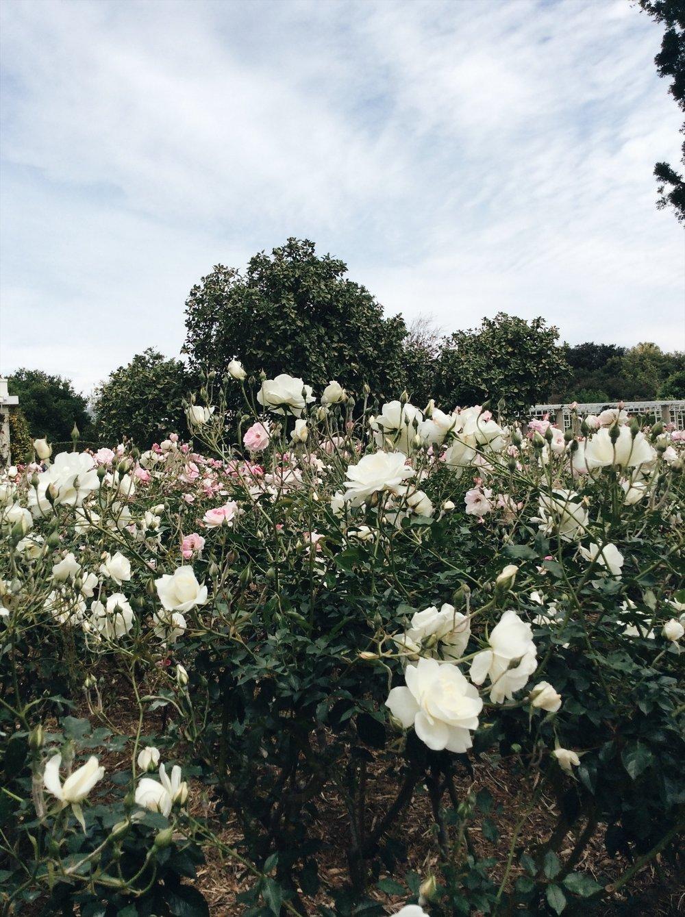 Huntington Botanical Gardens_Rose Garden.jpg
