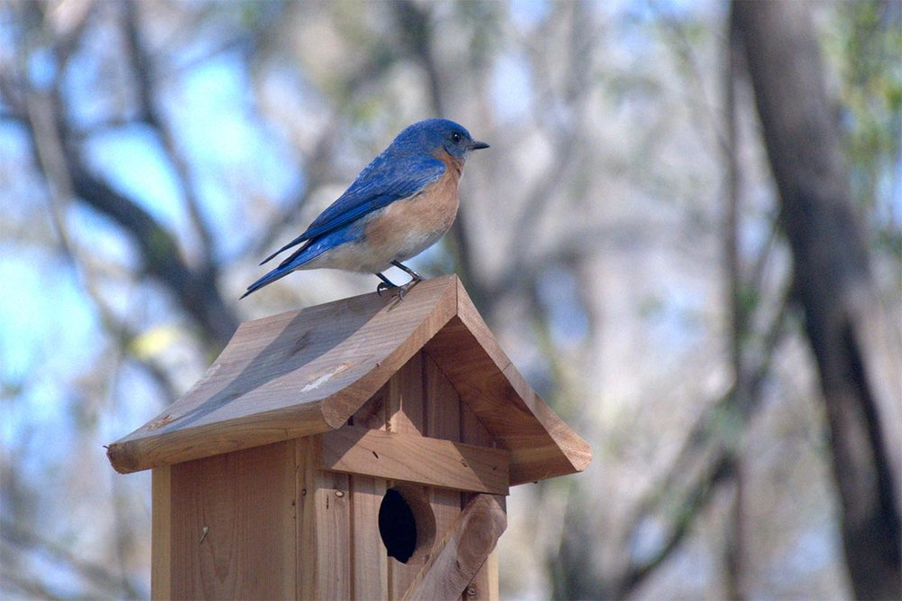 The Eastern Bluebird is back   - and Celadon residents couldn't be happier!