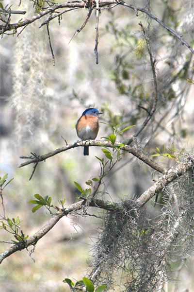 About the Eastern Bluebird -
